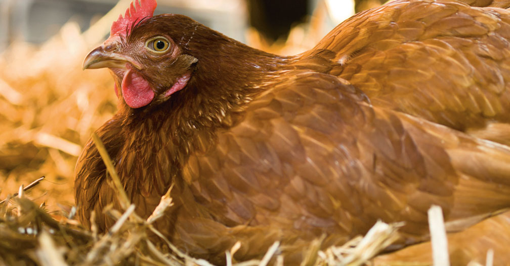Chicken Coop Essentials: Providing Shelter from Extreme Temperatures