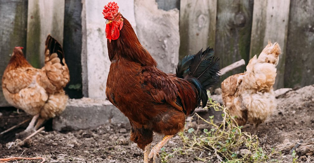 Different Types of Chicken Breeds for Backyard Chicken Owners