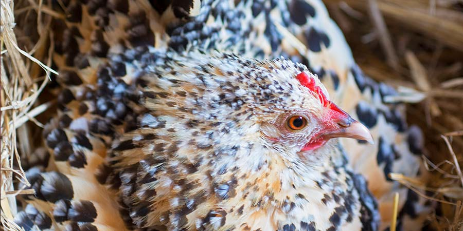What to Know Before Buying and Raising Backyard Chickens